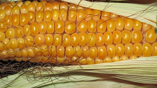 Maiskolben zum Dekorieren