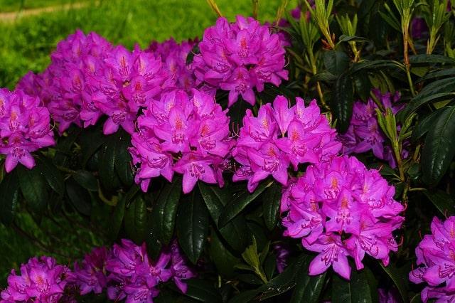 Rhododendronzirka morgens bekämpfen