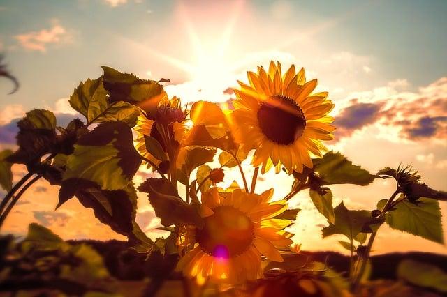 Sonnenblumen als Deko