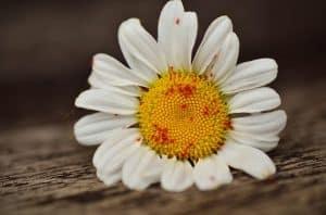 Blattläuse auf einer Blume
