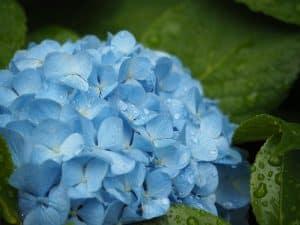 Bild bewässerte blaue Hortensie