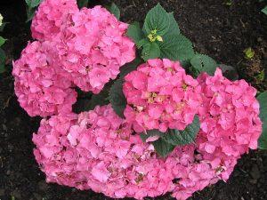 Bild pinke Hortensien im Boden