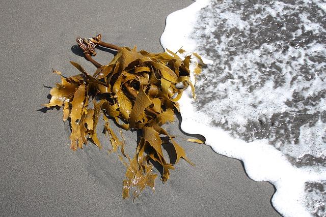 Bild Kelp