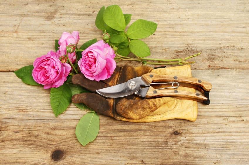 Bild Rosenschneiden
