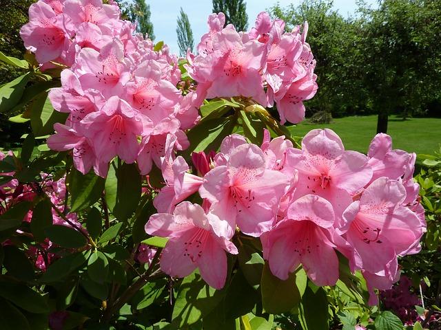 Bild rosane Rhodonendronen