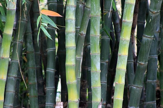bambus schneiden wann und wie leicht erkl rt. Black Bedroom Furniture Sets. Home Design Ideas