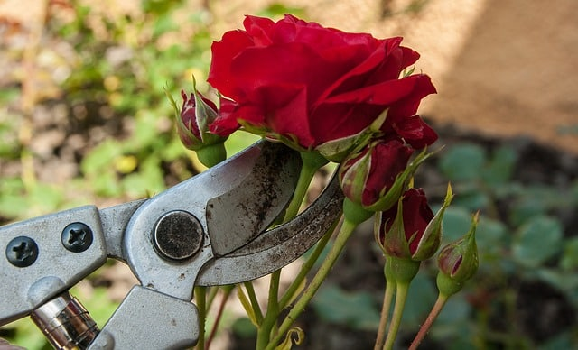 Bild Rosen veredeln