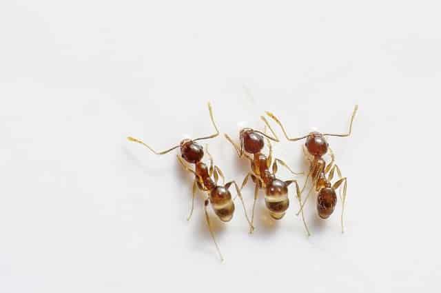 Ameisen im Haus bekämpfen - Expertenmagazine.com -