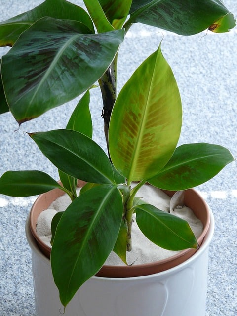 Top Die Bananenpflanze als Zimmerpflanze #WO_86