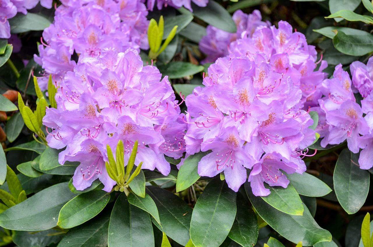 Bekannt Rhododendron vermehren: so einfach geht es JU48