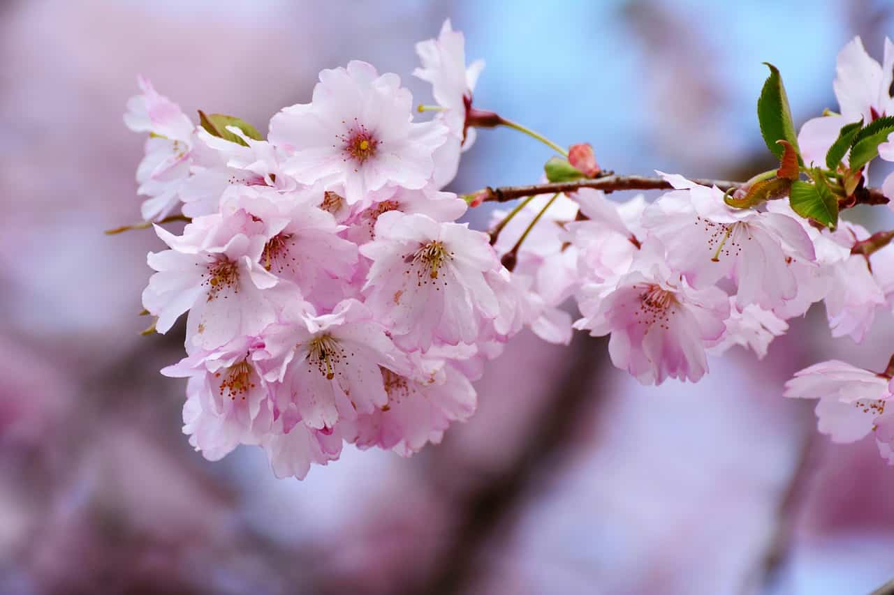 rosa blühender strauch