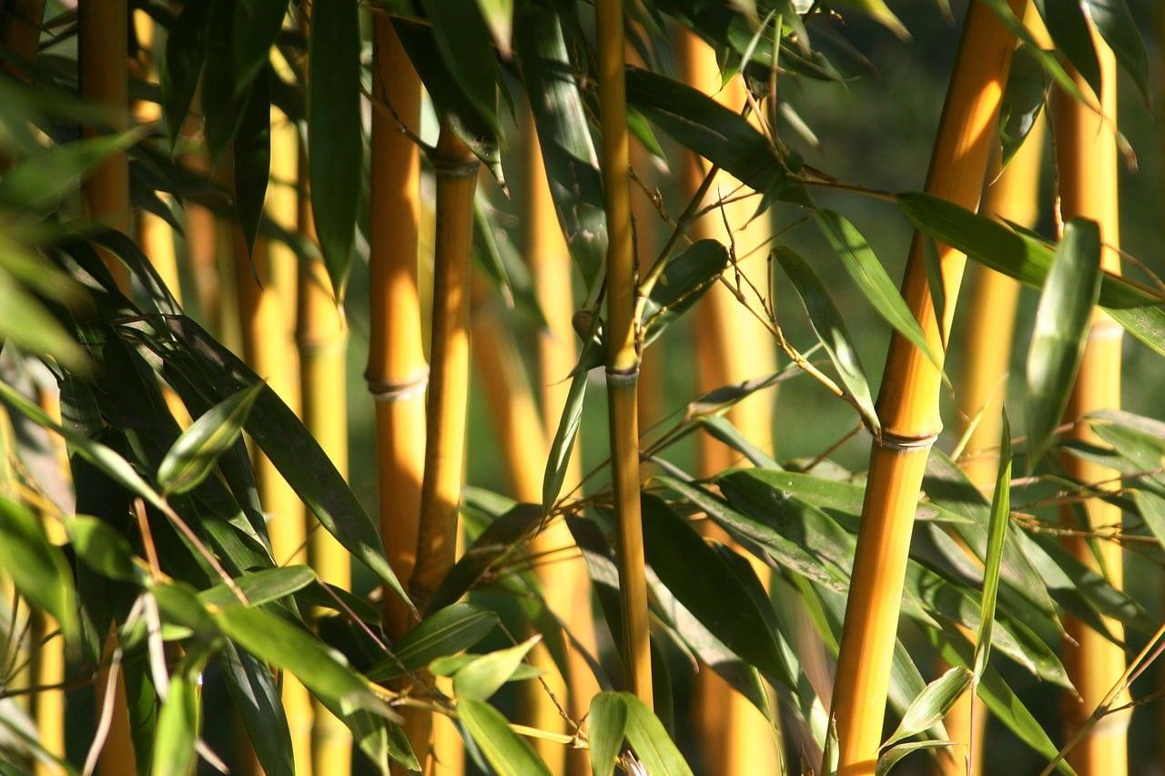 Bambus Schneiden Wann Und Wie Leicht Erklärt