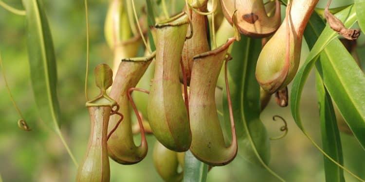 Bild Sarracenia