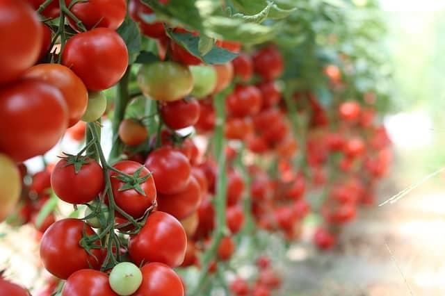 Bild angebaute Tomaten